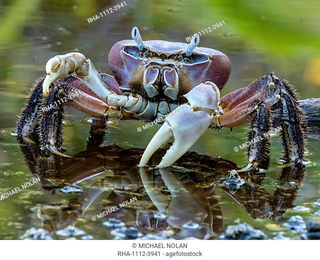 Land crab in brackish pond on Takune Atoll, Tuamotus, French Polynesia, South Pacific, Pacific