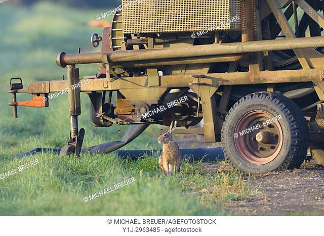 European brown hare (Lepus europaeus) in front of irrigation plant, Hesse, Germany, Europe