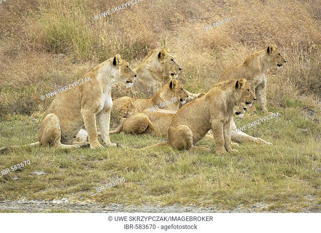 Lion (Panthera leo) morning hunt, lion pack locating its prey, Ngorongoro Crater, Tanzania