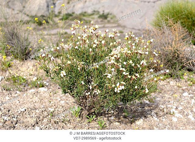 Euzomodendron bourgaeanum is a perennial herb endemic to Almeria province; is an endangered specie. This photo was taken in Desierto de Tabernas Natural Park