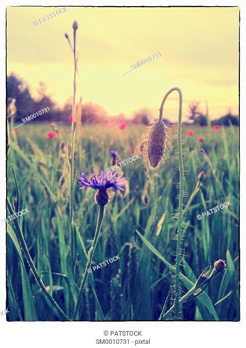 Poppy field against the sun