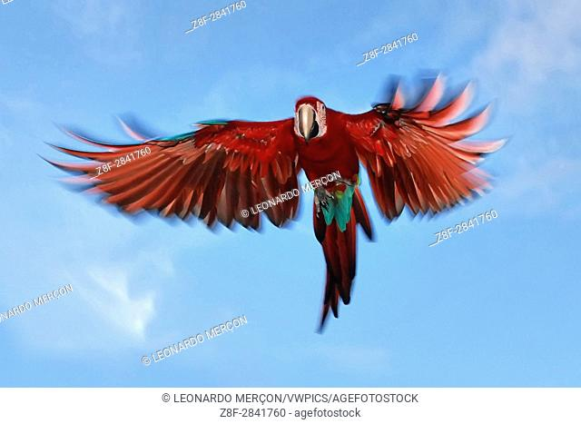Red-and-green Macaw (Ara chloropterus) flying, photographed in Concenção da Barra, Espírito Santo - Brazil. Atlantic Forest Biome