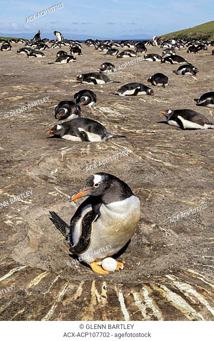 Gentoo Penguin (Pygoscelis papua) at its nesting colony in the Falkland Islands