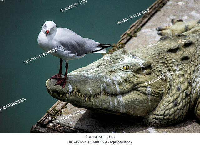 Silver gull, Chroicocephalus novaehollandiae, perched on stone crocodile. Hervey Bay, Queensland, Australia. (Photo by: Auscape/UIG)