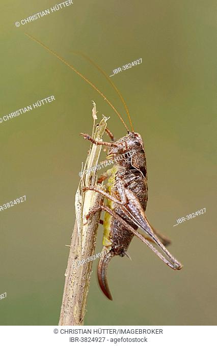 Dark Bush-Cricket (Pholidoptera griseoaptera), female, North Rhine-Westphalia, Germany