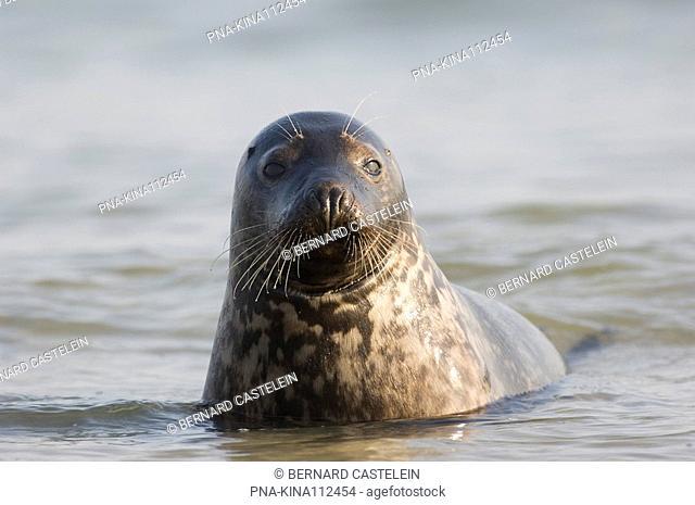 Grey Seal Halichoerus grypus - Germany, Europe