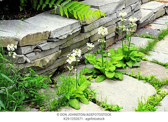 Chinese pagoda primrose growing near stone wall and path. Ontario. Canada