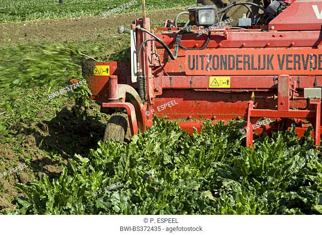 Sugar beet, Sugar-beet, Beet root, Sugar-beet root (Beta vulgaris var. altissima), harvest of Sugar Beets, Belgium, East Flanders