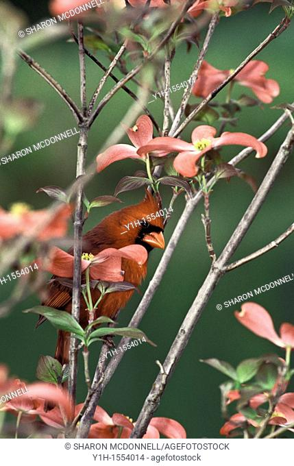 Male Northern Cardinal, Cardinalis cardinalis, peeking out from pink Dogwood tree