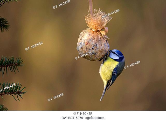 blue tit (Parus caeruleus, Cyanistes caeruleus), at self made bird food in fat ball, Germany
