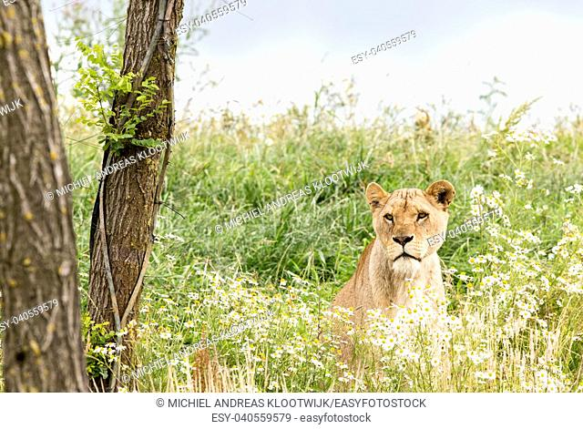 Single female lion resting in the fresh grasss