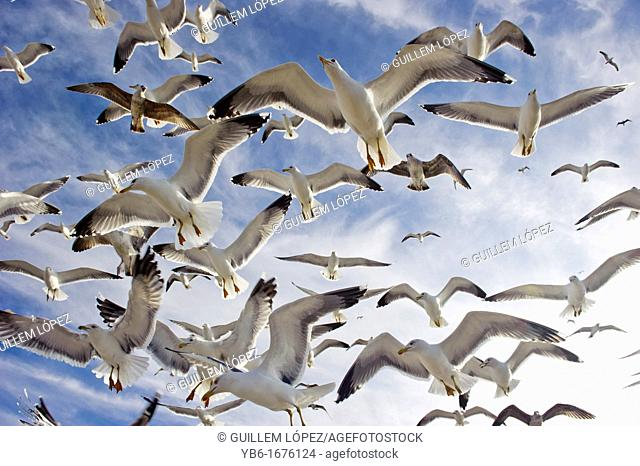 Flock of flying seagulls from below