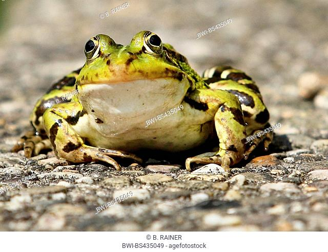 European edible frog, common edible frog (Rana kl. esculenta, Rana esculenta, Pelophylax esculentus), sitting on asphalt surface, Germany