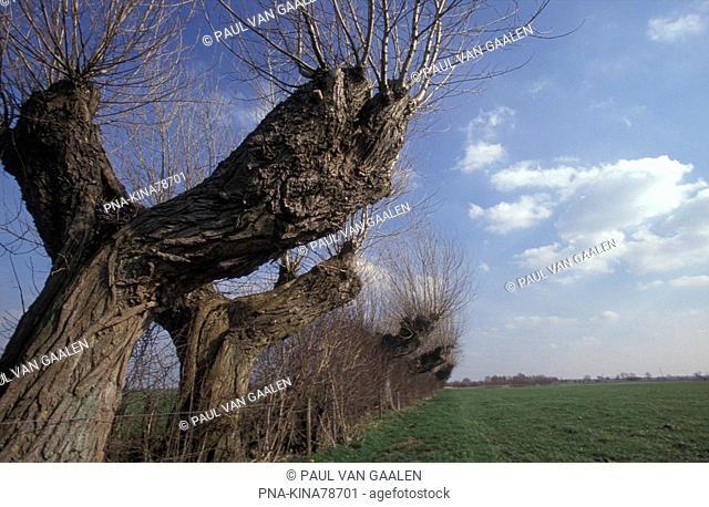 Willow, Pollard-willow Salix alba - Polder Hoog Zalk, IJsselmuiden, IJsseldelta, Overijssel, The Netherlands, Holland, Europe
