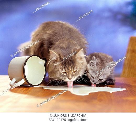 Maine Coon and kitten licking milk restrictions: Tierratgeber-Bücher / animal guidebooks, puzzles worldwide, mobile phone content worldwide