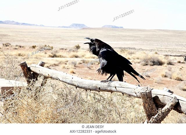 Crow on a fence in the desert; Arizona, United States of America