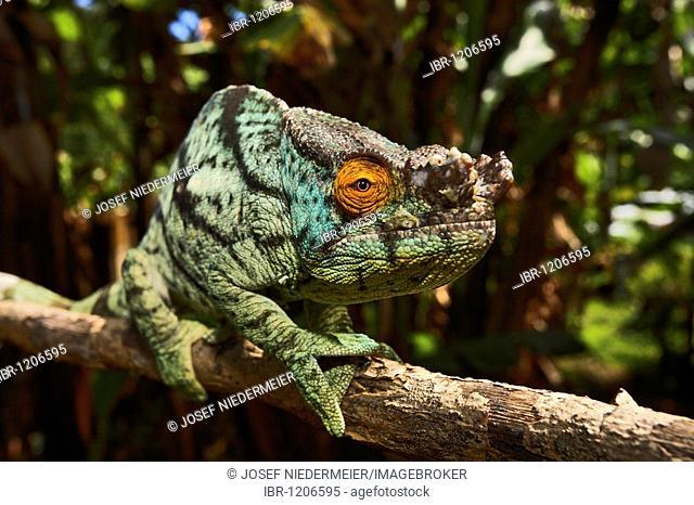 Parson's Chameleon (Calumma parsonii), Ile Ste. Marie, East Coast, Madagascar, Africa