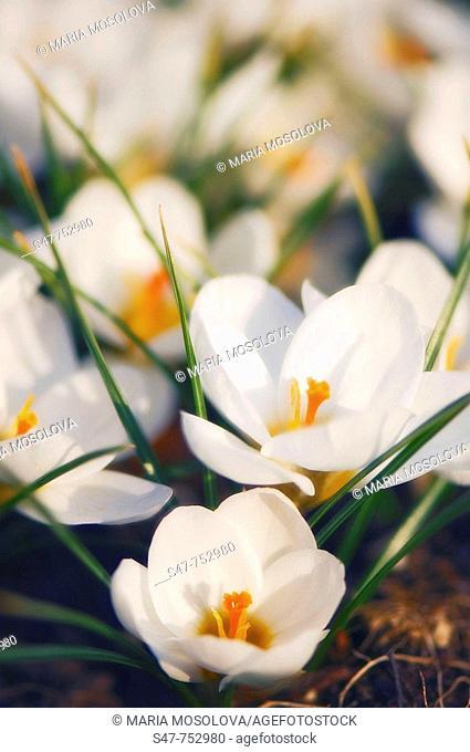 White Crocus in Bloom. Crocus biflorus 'Purity'. March 2007, Maryland, USA