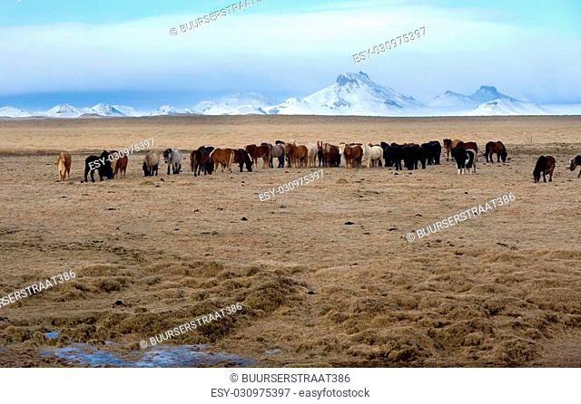 Icelandic horses are standing in a field with mountains on the background