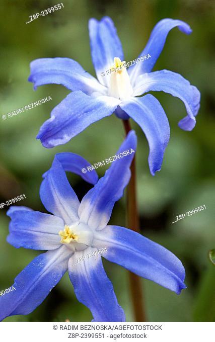 Glory of the Snow Chionodoxa luciliae