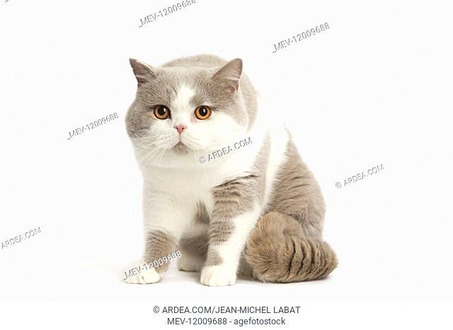 Grey and white British cat in the studio