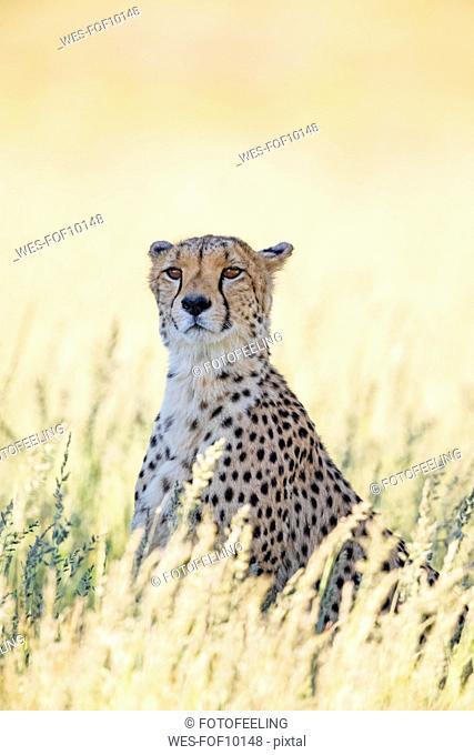 Botswana, Kgalagadi Transfrontier Park, Cheetah, Acinonyx Jubatus