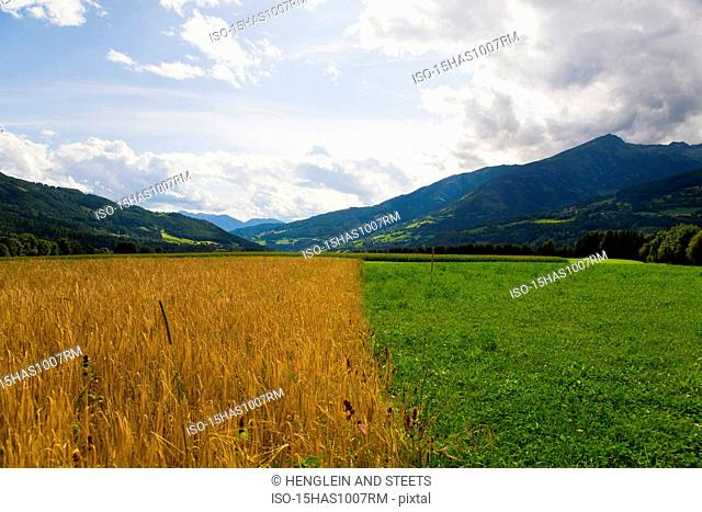 oat field and pasture on farm