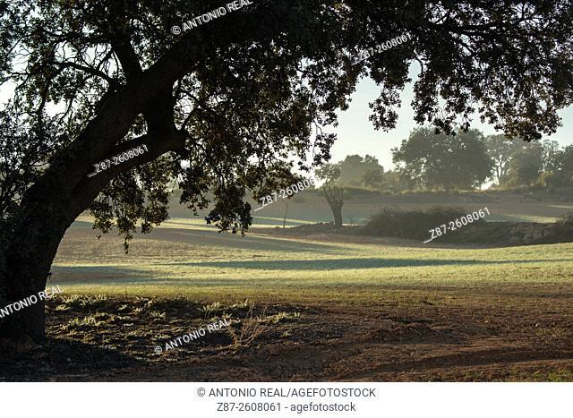Holm Oaks (Quercus ilex), Almansa, Albacete province. Spain