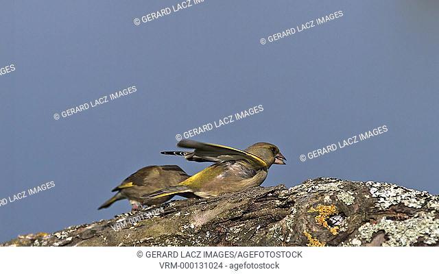 European Greenfinch, carduelis chloris, Adult in Flight, Taking off, Eating Seeds, Normandy, Slow motion