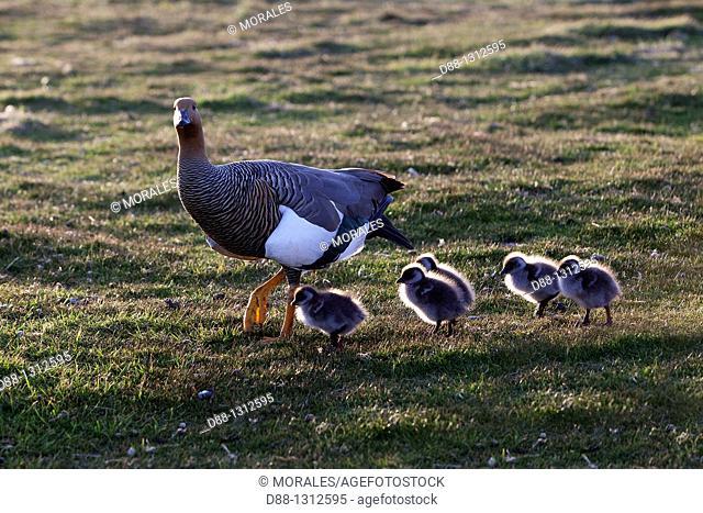 Falkland Islands , Sea LIon island , Upland Goose or Magellan Goose  Chloephaga picta  , female and youngs