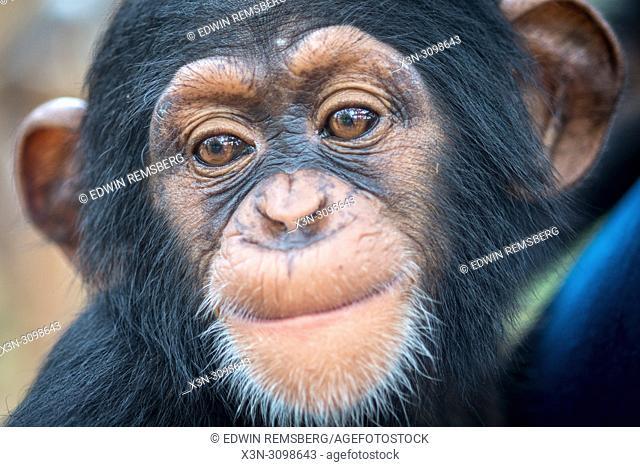 A close up look at the face of a baby chimpanzee. (Pan troglodytes) Ganta Liberia