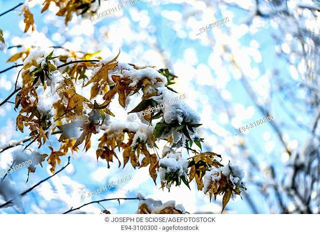 A dusting of snow on the leaves of a maple tree after a snow storm. Birmingham, Alabama, USA