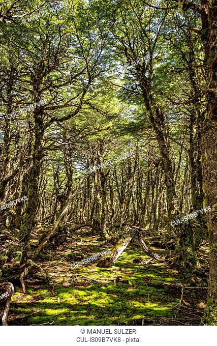 Moss covered forest floor, Coyhaique National Reserve, Coyhaique Province, Chile