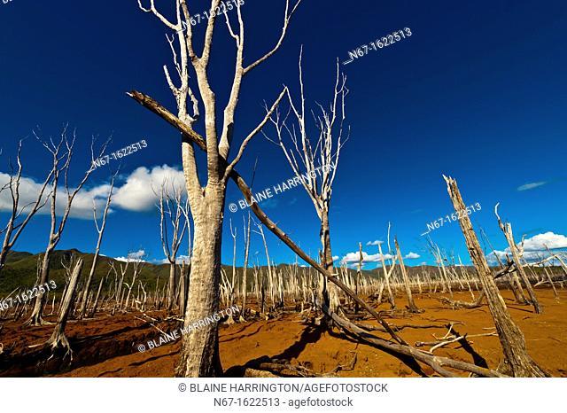 The Drowned Forest Foret Noyee, Parc de la Riviere-Bleue Blue River Provincial Park, Grande Terre, New Caledonia