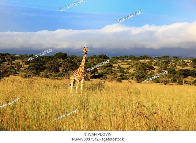 Giraffe Giraffa camelopardalis, Murchison Falls national park, Uganda, East Africa