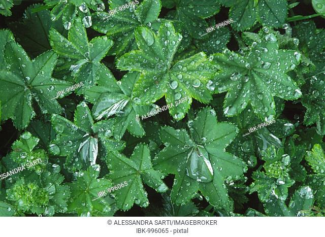 Waterdrops on Lady's Mantle (Alchemilla mollis), leaves after rain in North Tyrol, Austria, Europe
