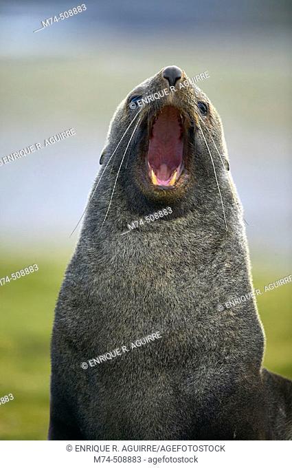 Antarctic Fur Seal (Arctocephalus gazella). South Georgia, UK