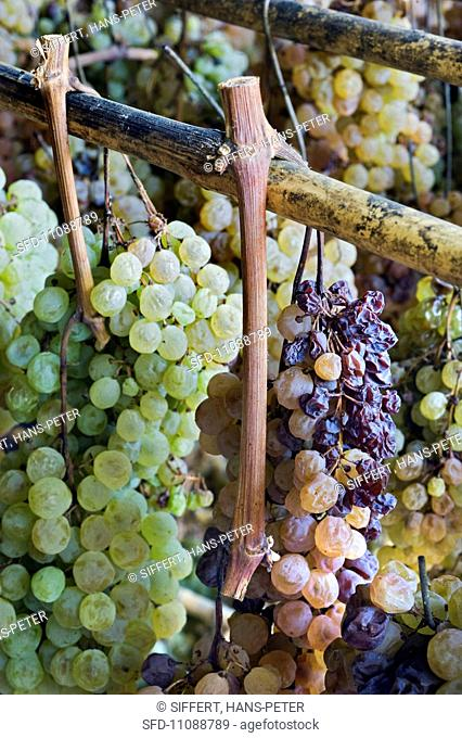 Trebbiano and Malvasia Trauben hanging to dry for making vin santo