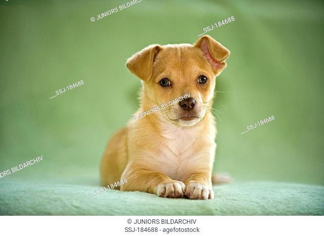 Chihuahua-Mix. Puppy (8 weeks old) lying on a green blanket