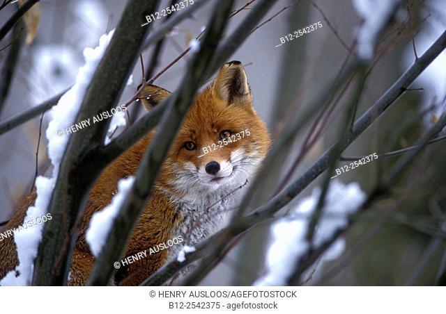 Red Fox Vulpes vulpes Portrait, France