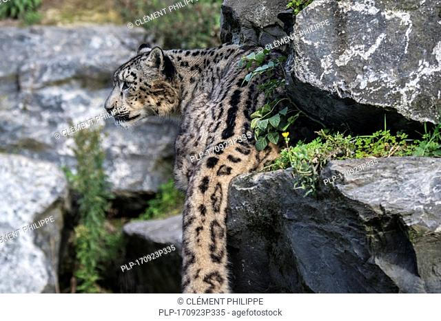Snow leopard / ounce (Panthera uncia / Uncia uncia) stalking prey in rock face, native to the mountain ranges of Central and South Asia