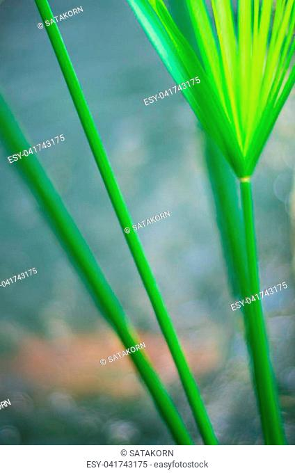 Cyperus Umbrella plant and the reflection of light on water surface