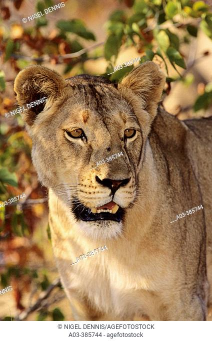 Lioness (Panthera leo). Kruger National Park, South Africa