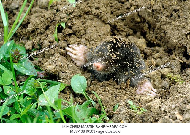 Common Mole - emerging from ground (Talpa europaea)