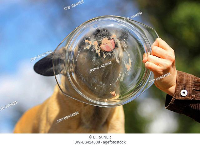 mixed breed dog (Canis lupus f. familiaris), nine years old Malinois mixed breed she-dog licking liver sausage from a glass dish, portrait, Germany