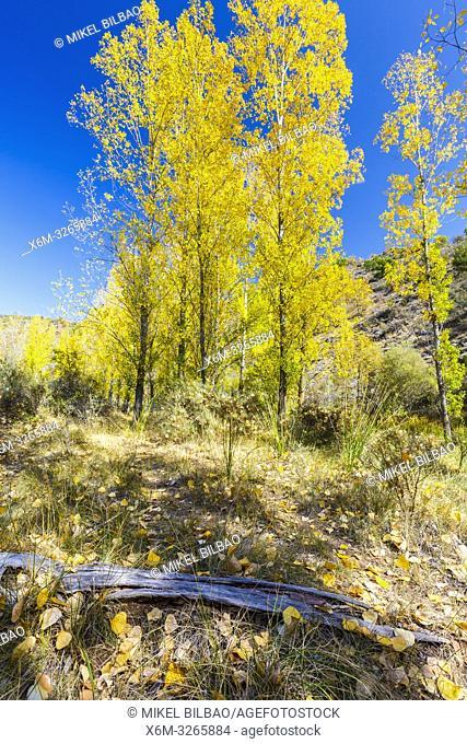 Poplar grove in a gorge in autumn. Cañamares river. Guadalajara, Castilla-La Mancha, Spain, Europe