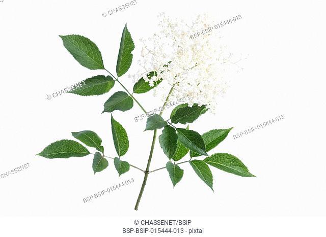 elder flower blossoms on a white background
