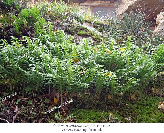 Polypody. Fern (Polypodium vulgare). Catalonia, Spain