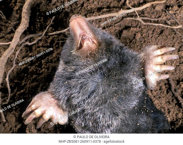 Mole, Talpa europaea. Belly view, showing front paws and dentition. Portugal