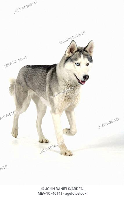 DOG - Siberian Husky with different coloured eyes